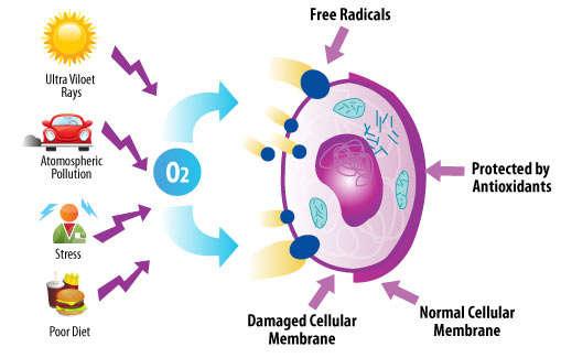 free-radical-and_Acai_effect